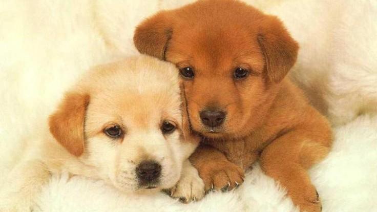 Puppy-Desktop-Background-Wallpaper_Animals Resurrection